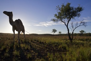 Camel at dawn in the northern Flinders Ranges.