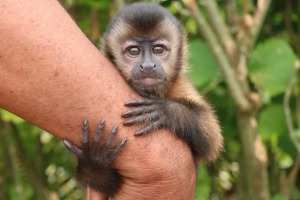 Young capuchin monkey orphaned by poachers and now a pet.