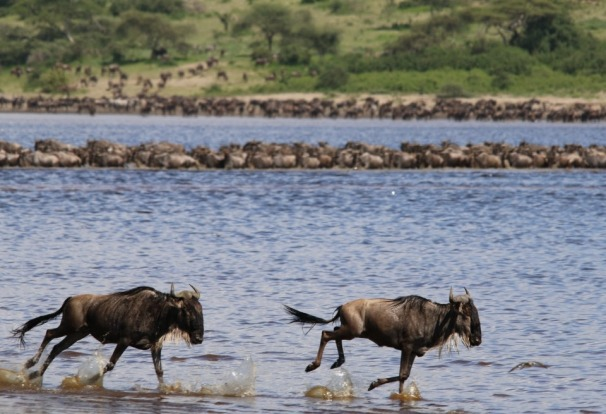 Lake Ndutu Great Wildebeest Migration - TANZANIA On route to Kusini in the southern reaches of the Serengeti National ...