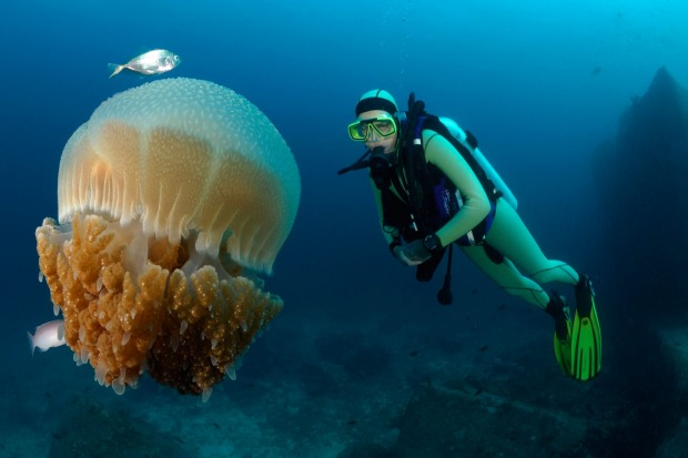 Scuba diver and Cauliflower Jellyfish, Richelieu Rock, Surin Islands.