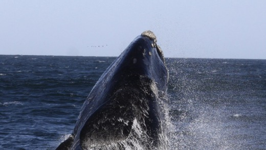 Whale cavorting in Walker Bay.