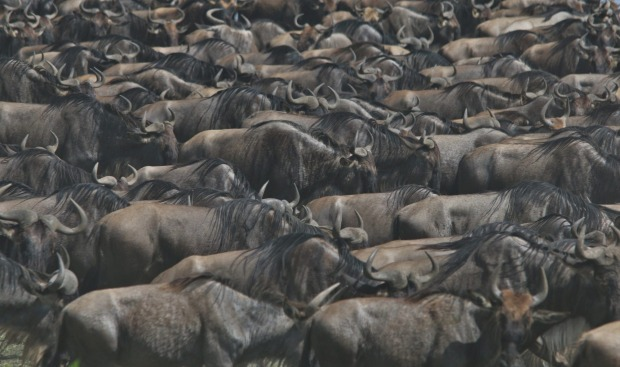 Lake Ndutu Great Wildebeest Migration - TANZANIA In December 2015, on route to Kusini in the southern reaches of the ...
