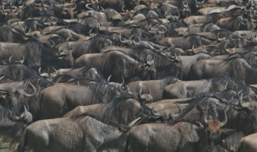 Lake Ndutu Great Wildebeest Migration - TANZANIA. In December 2015, on route to Kusini in the southern reaches of the ...