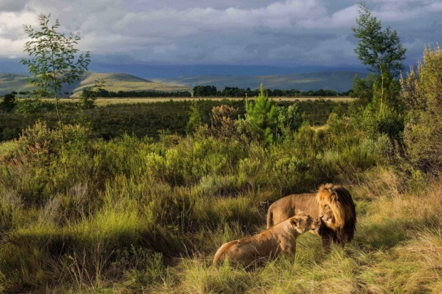 We recently had the good fortune of visiting a game reserve in the stunning Plettenberg Bay area of South Africa. In the ...