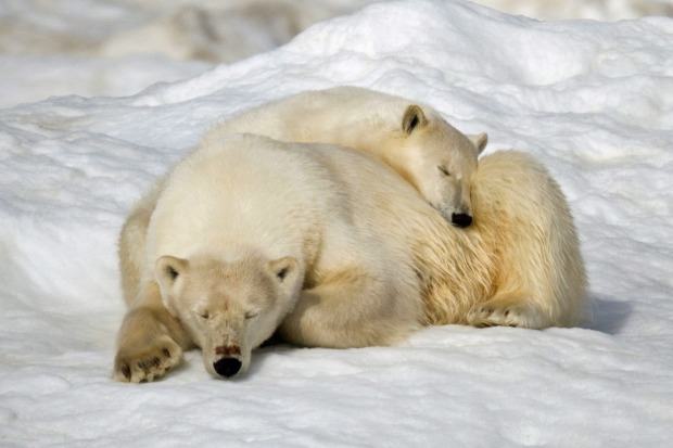 Polar bears in the Russian Arctic with Heritage Expeditions.