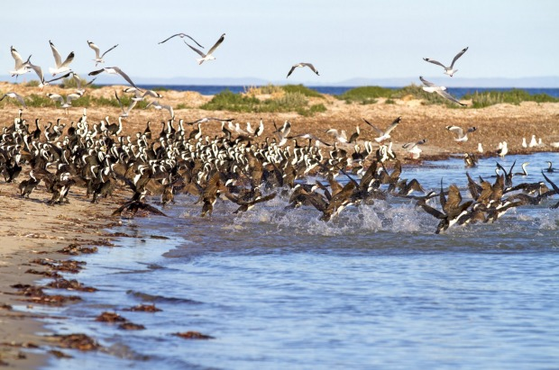 A crowd of cormorants on Troubridge Island.