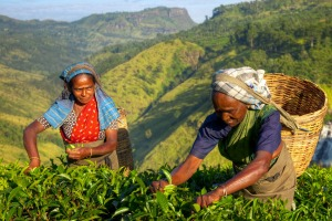 Tea-pickers in Sri Lanka.