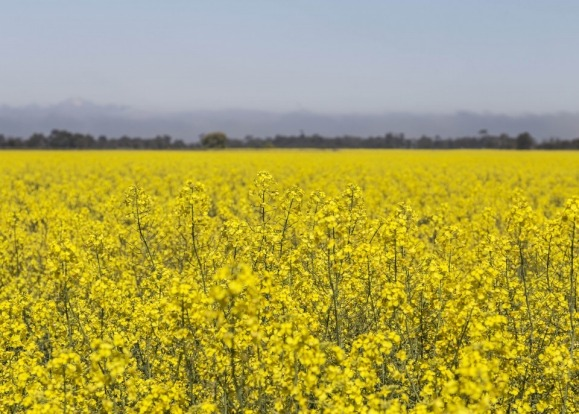 A warm summers drive through the western victorian countryside in Australia with fields as far as the eye could see of ...