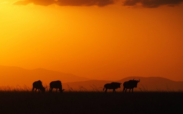 Wildebeeste silhouetted at sunset in the Masai Mara game reserve in Kenya. They are probably the most common animal in ...