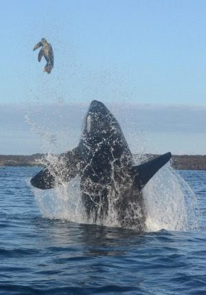 For the third time, the whale knocks the turtle through the air.