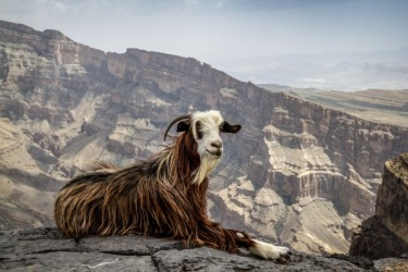 This goat is perched atop the Jebel Shams mountains at 3000m high in Oman. My wife and I saw an article on these goats ...