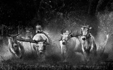 Final lap-A traditional Bull race in Rural Bengal.