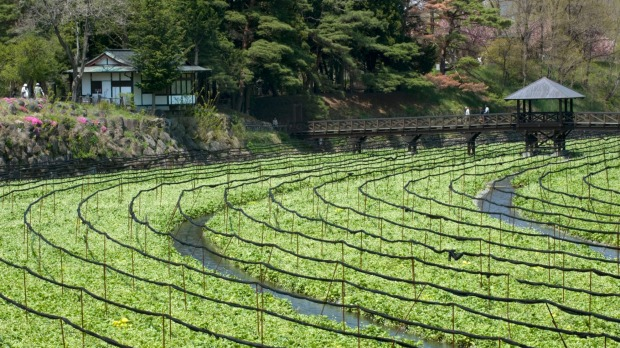 A pedestrian bridge crosses wasabi fields at Daio.