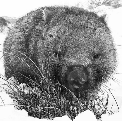Boris the wombat.