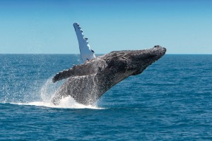 Whale Watching, Hervey Bay, Fraser Island.