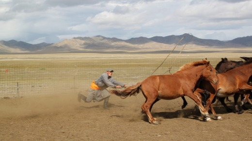 A Mongolian catches horses ready for branding.
