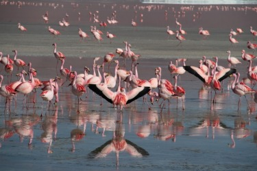 James Flamingos @ Laguna Colorada Bolivia approx 4000m elevation Laguna Colorada (Red Lagoon) is a shallow salt lake in ...