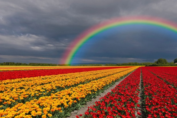 Netherlands, Keukenhof, view to rainbow at cloudy sky with tulip fields in the foreground.