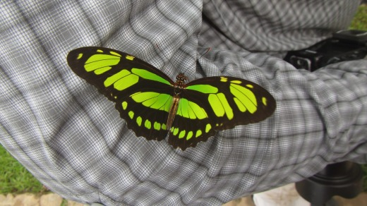 Close encounter with a malachite butterfly.