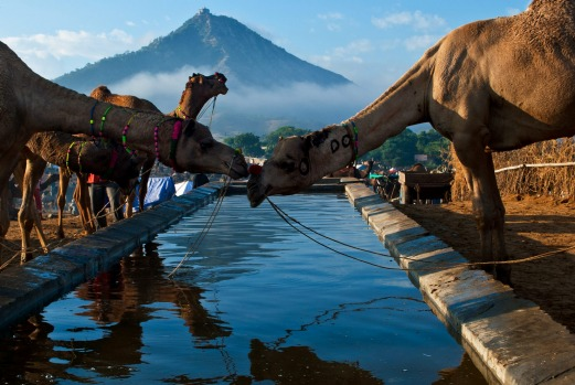 Camels being watered at the Pushkar Camel Fair.