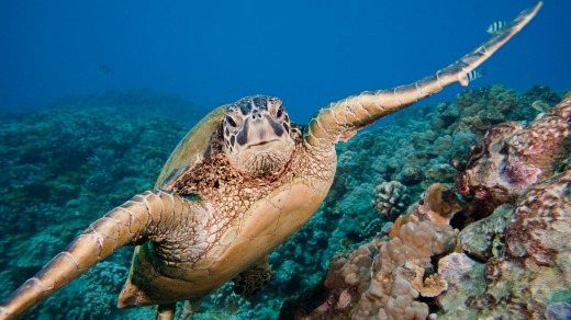 A green sea turtle, Chelonia mydas, off the coast of Maui. This is an endangered species.