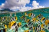 A school of yellow butterfly fish in French Polynesia.