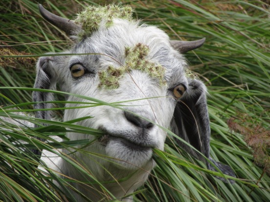 Came across a herd of goats while hiking from McLeod Ganj to Triund in Himachal Pradesh, October 2015. This goat looked ...