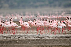 Lesser flamingos are found mainly in the area surrounding the Great Rift Valley in Africa.