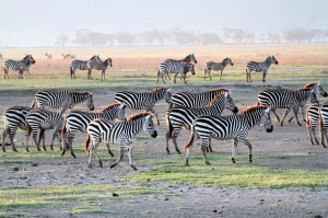 A herd of plains zebra, Ngorongoro Crater, Tanzania.