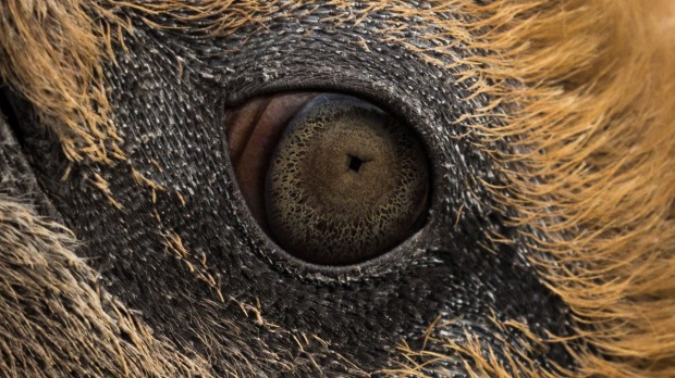 About as close an encounter you could get with this close up shot of a King Penguin's eye. Shot on Salisbury Plain, ...