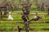 Vineyard Geese. On a trip to Margaret River I spotted this pair of geese wandering the aged and well tended vines. The ...