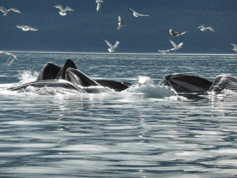 Humpback whales bubble net feeding out of Juneau Alaska. Didn't think I shot the photo at first as the screen was black ...