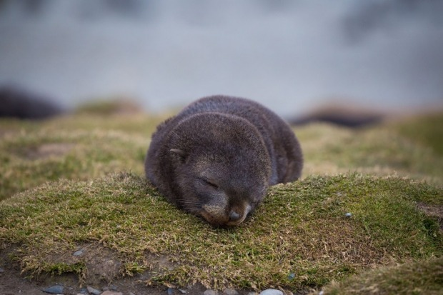 The fragility of life. A baby fur seal sleeps on a bed of moss on South Georgia Island with a snowfield in the background.