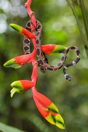 Plants and animals constantly surprise on trips to the Amazon, such as this Catesby's snail-eating snake and heliconia plant.