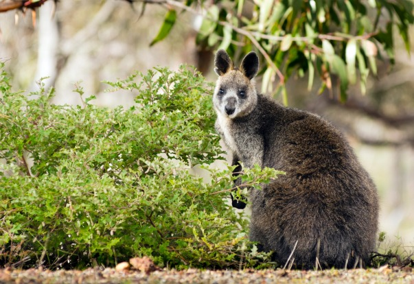 A wallaby in the Grampians region of Victoria.