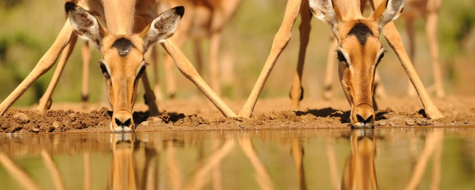 A pair of impala (Apyceros melampus) ewes drinking at a waterhole in the bushveld, Kwazulu Natal, South Africa.