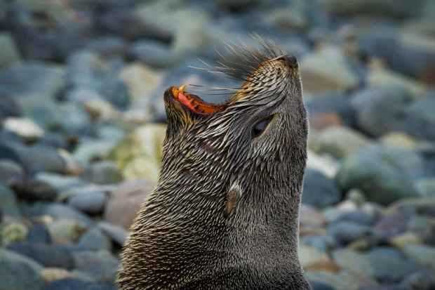 The roar of a fur seal on the pebbly shores of a South Georgia Beach. This photo was taken during a summer expedition to ...