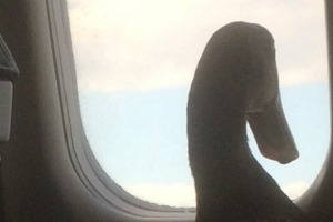 Daniel The Emotional Support Duck takes a gander out the window.