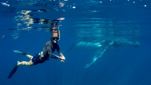 Otherworldly: Swimming with whales at Ningaloo Reef.