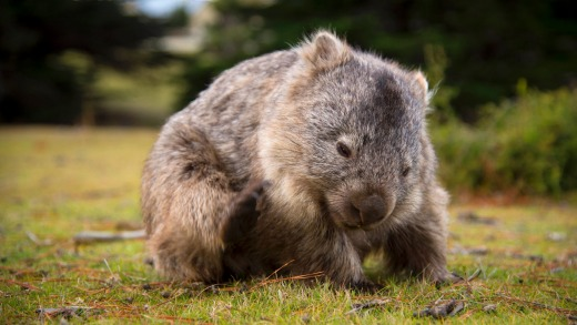 There are wombats everywhere.