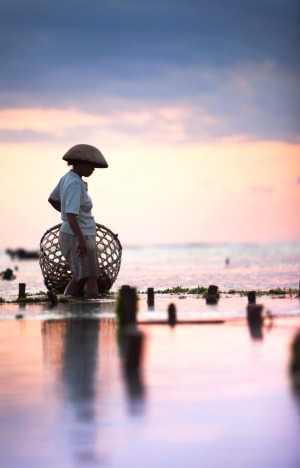 A Balinese woman collects seaweed