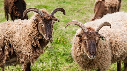 Soay sheep shed their fleece naturally - which is why these look rather ragged.