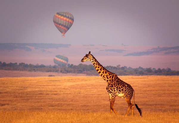 Giraffe below a distant hot air balloon - Masai Mara, Kenya.