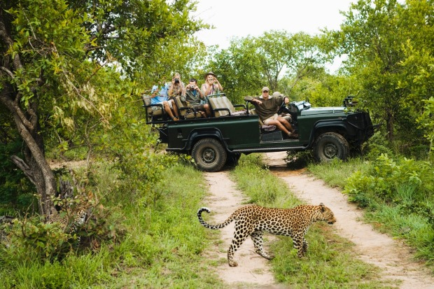 Leopard (Panthera pardus) crossing road with tourists in jeep in background.