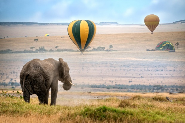 African elephant , foggy morning, ballons landing on background, Masai Mara National Reserve, Kenya.