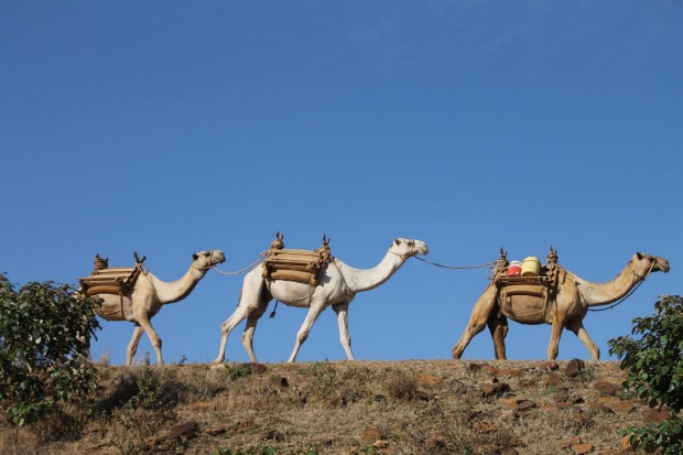 Camel wildlife tour.