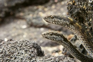 Galapagos snakes feature in surprising abundance during the series <i>Planet Earth 2</I>.