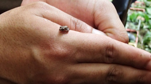 A tiny frog found on a nature walk.
