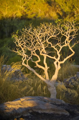 Lone tree in late afternoon sunlight at Ubirr, Kakadu National Park.