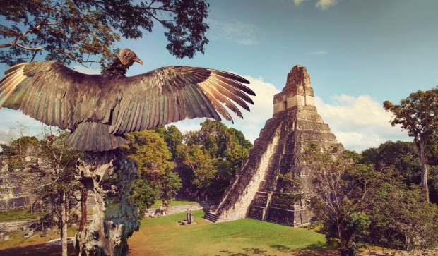 Neophron overlooking the ancient ruins of the Mayan city of Tikal, Guatemala.